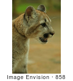 #858 Photography of a Young Cougar Closeup by Kenny Adams
