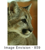 #859 Photography of a Close-up Cougar Portrait by Kenny Adams
