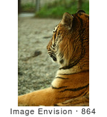 #864 Photography of the Royal Bengal Tiger Side-Shot by Kenny Adams