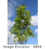 #8804 Picture of a Raywood Ash Tree by Jamie Voetsch