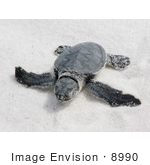 #8990 Picture Of A Sea Turtle Hatchling