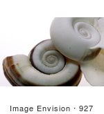 #927 Photograph: White and Brown Ramshorn Shells by Jamie Voetsch