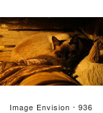 #936 Photo Of Siamese Catnap