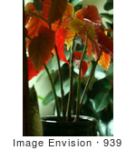 #939 Picture Of The Red Leaves Of An Angel Wing Begonia Plant