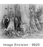 #9620 Picture Of A Giant Cedar Tree