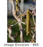 #965 Stock Photo Of Catkins On Harry Lauder