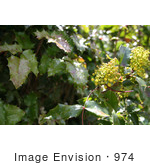 #974 Stock Photograph of the Oregon Grape Flowers by Jamie Voetsch