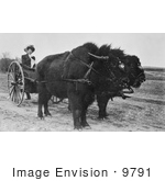 #9791 Picture of a Bison Pulling a Woman in a Cart by JVPD
