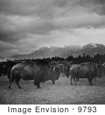 #9793 Picture Of Bison In Butte Montana