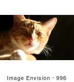 #996 Picture of an Orange & White Cat by Kenny Adams