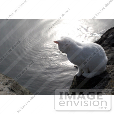 #1058 Picture of a White Cat Looking at the Rogue River by Kenny Adams