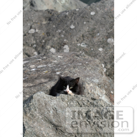 #1073 Picture of a Homeless Black & White Cat Hiding Behind a Rock by Kenny Adams