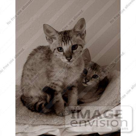 #10878 Picture of Savannah Kittens - Sepia Toned by Jamie Voetsch