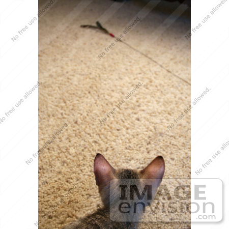 #10881 Picture of an F4 Savannah Kitten Stalking a Toy by Jamie Voetsch
