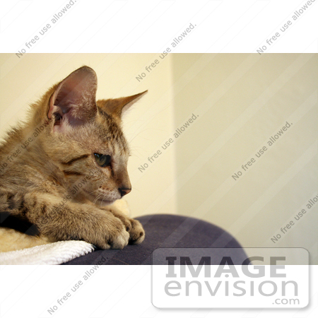 #10905 Picture of a Kitten in Profile by Jamie Voetsch