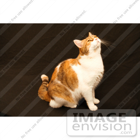 #1109 Photograph of a Calico Cat Looking Up by Jamie Voetsch