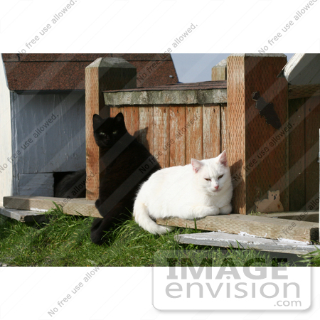 #1124 Picture of a Black and a White Cat Sitting Together by Kenny Adams