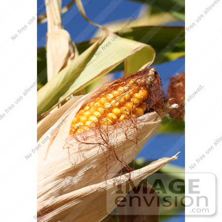 #1137 Picture of Sweet Yellow Corn on the Cob by Kenny Adams