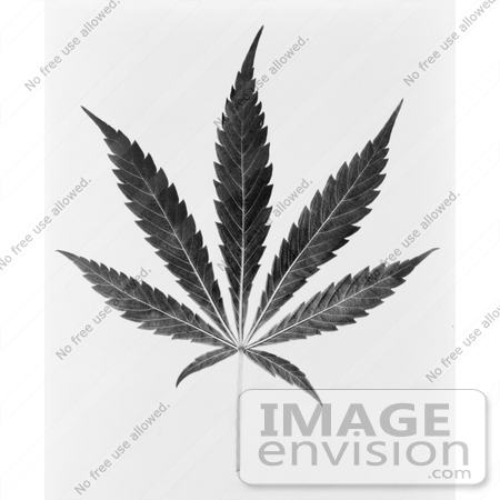 #11449 Picture of a Black and White Marijuana Leaf by JVPD