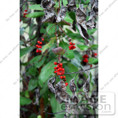#1177 Image of Red Honeysuckle (Lonicera ciliosa) Berries by Jamie Voetsch