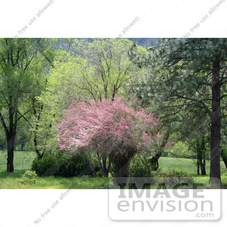 #12075 Picture of a Pink Tamarix Tree by Jamie Voetsch