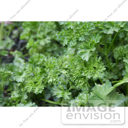 #12079 Picture of Curly Parsley by Jamie Voetsch