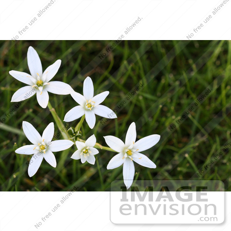 Starofbethlehem Flowers on Star Of Bethlehem Flower Image Search Results