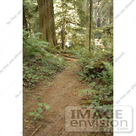 #121 Stock Photo of a Path Through a Redwood Forest by Jamie Voetsch