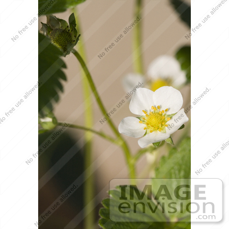 #12162 Picture of a Strawberry Blossom by Jamie Voetsch