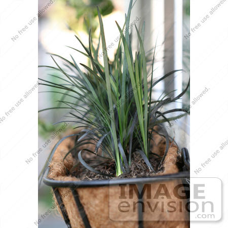 #12179 Picture of a Window Planter With Mondo Grass by Jamie Voetsch