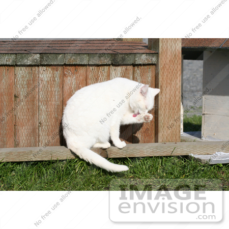 #1221 Photography of a White Cat Cleaning Itself by Kenny Adams
