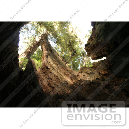 #123 Stock Photograph of the Inside of a Hollowed Redwood Tree by Jamie Voetsch