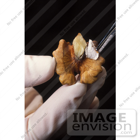 #12903 Picture of a Gloved Hand With Tweezers, Removing Pellicle From a Tulare Walnut by JVPD