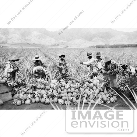#1363 Photo of Men Harvesting Pineapples in a Crop on a Plantation in Hawaii by JVPD