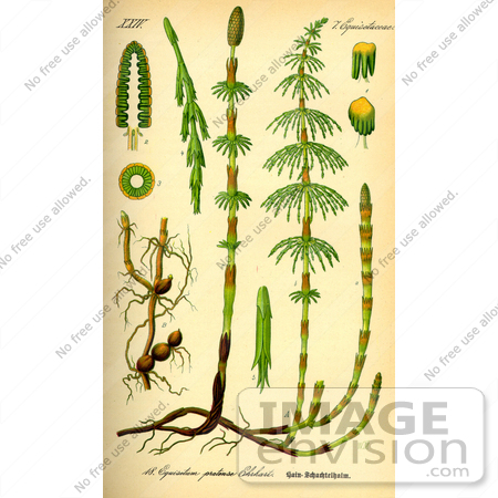 #13680 Picture of Horsetail Plants (Equisetaceae) by JVPD