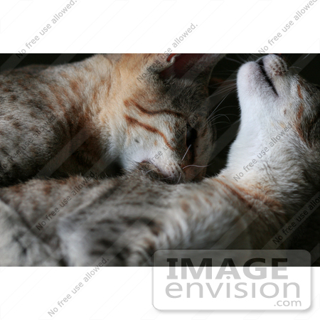 #13748 Picture of a Male Kitten Biting a Female's Neck, Trying to Mate or Play by Jamie Voetsch