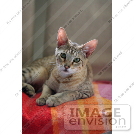 #13757 Picture of a Male F4 Savannah Kitten on a Towel by Jamie Voetsch