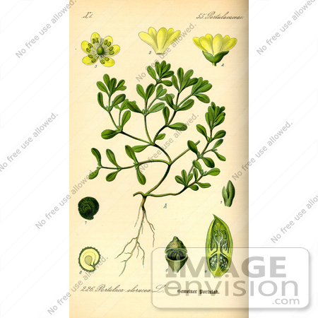 #13874 Picture of Common Purslane, Verdolaga, Pigweed, Little Hogweed, Pusley (Portulaca oleracea) by JVPD