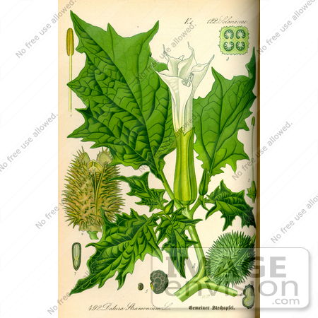 #14106 Picture of Jimson Weed, Gypsum Weed, Loco Weed, Jamestown Weed, Thorn Apple, Angel's Trumpet, Devil's Trumpet, Mad Hatter, Crazy Tea, Zombie's Cucumber (Datura stramonium) by JVPD