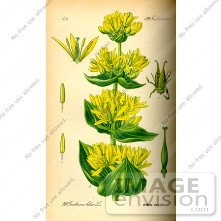 #14159 Picture of Great Yellow Gentian, Yellow Gentian, Bitter Root, Bitterwort, Centiyane, Genciana (Gentiana lutea) by JVPD