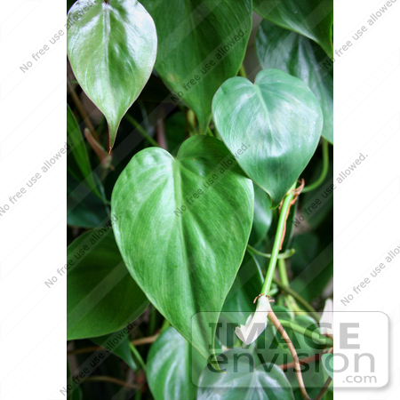 #14699 Picture of Leaves on a Heartleaf Philodendron Plant. by Jamie Voetsch