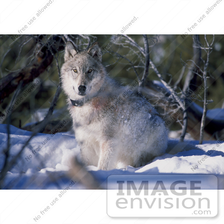 #15171 Picture of a Gray Wolf With a Tracking Collar by JVPD