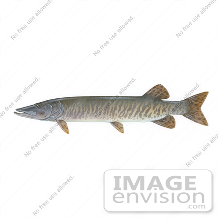 #15490 Picture of a Muskellunge, Muskie, Musky (Esox masquinongy) by JVPD