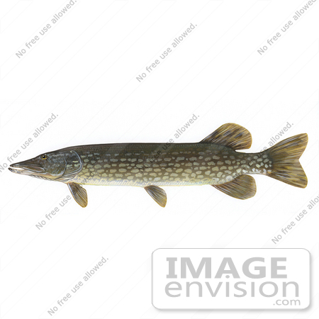 #15493 Picture of a Northern Pike Fish (Esox lucius Linnaeus) by JVPD