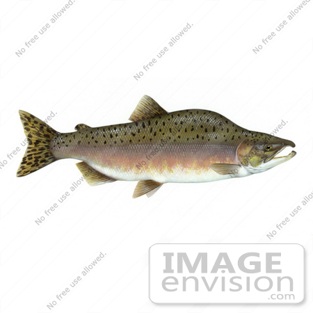 #15494 Picture of a Pink Salmon, Humpback Salmon (Oncorhynchus gorbuscha) by JVPD