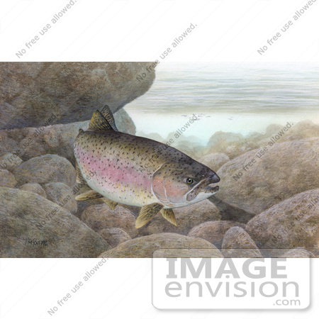 #15498 Picture of a Rainbow Trout, Redband Trout (Oncorhynchus mykiss) by JVPD