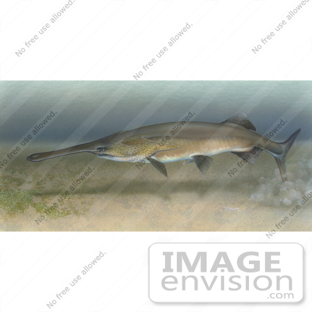 #15499 Picture of a Paddlefish (Polyodon spathula) by JVPD