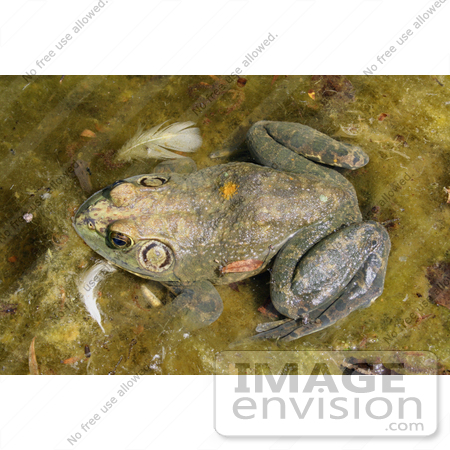 #155 Photograph of a Frog in a Pond by Jamie Voetsch