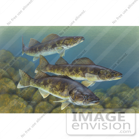 #15510 Picture of Walleye Fish (Stizostedion vitreum) by JVPD