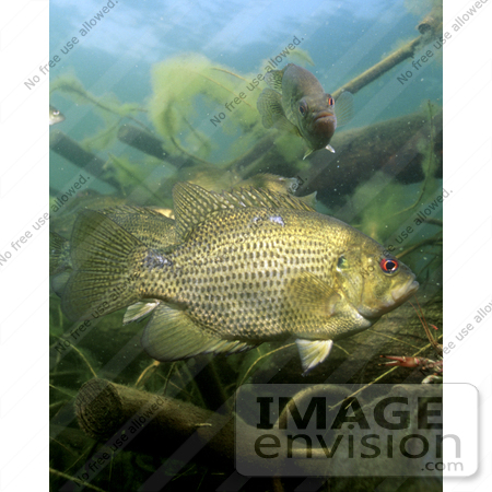 #15511 Picture of a Rock Bass (Ambloplites rupestris) by JVPD
